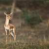 Indian gazelle aka Chinkara<br /> Raymond's Wild Tiger Photography Tours<br /> <br /> ray@raymondbarlow.com<br /> Nikon D800 ,Nikkor 200-400mm f/4G ED-IF AF-S VR<br /> 1/2000s f/4.0 at 400.0mm iso1250