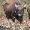 Gaur (India Bison). Taken by Doug Cheeseman in March 2013.