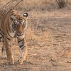 """Royal Bengal Tiger on the Prowl<br /> Raymond's Tiger Photography Tours in India<br /> <br />  <a href=""""http://www.raymondbarlow.com"""">http://www.raymondbarlow.com</a><br /> <br /> Save Nature!<br /> Nikon D810 ,Nikkor 200-400mm f/4G ED-IF AF-S VR<br /> 1/1000s f/5.0 at 200.0mm iso1250"""