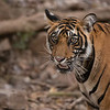 RJB_0831 Tiger Portrait 1200 web