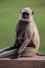 Asia. India. Grey langurs, or Hanuman langurs, at the temples of Khajuraho, a UNESCO World Heritage site.