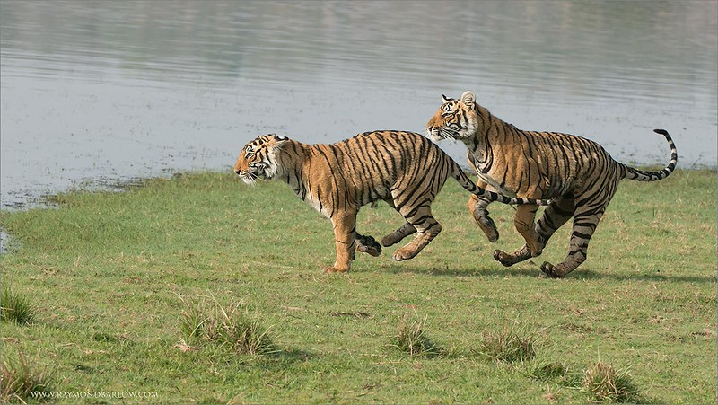"An Awesome Day in India!<br /> <br /> Many more images to come!  Thanks for looking..<br /> <br /> Please help save nature!<br /> <br /> <br /> Tigers on the Run - 2<br /> RJB India Tours<br />  <a href=""http://www.raymondbarlow.com"">http://www.raymondbarlow.com</a><br /> 1/1250s f/8.0 at 220.0mm iso1250"