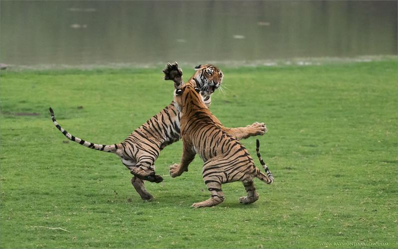 RJB_5051 Tiger Sisters in Battle 2 1200 web