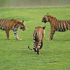 RJB_5034 Tigers about to Fight 1200 web