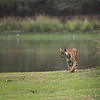 RJB_4783 Royal Bengal Tiger  1200 web