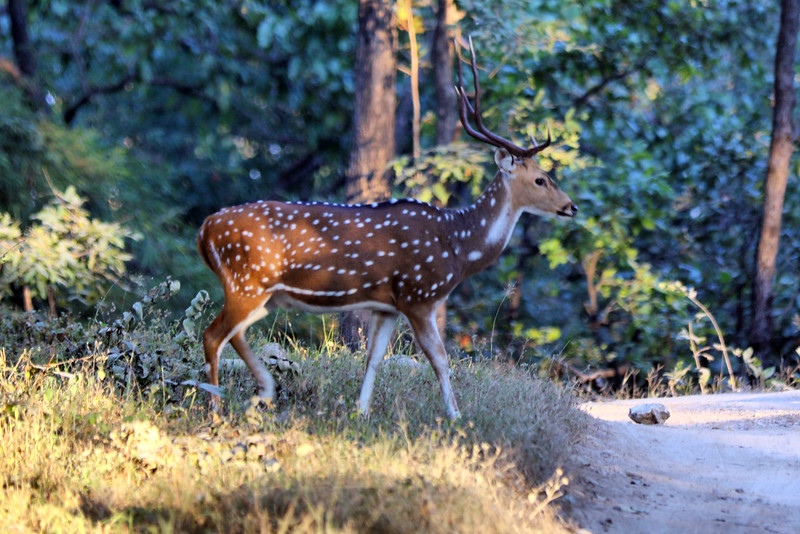 Male Chital Deer