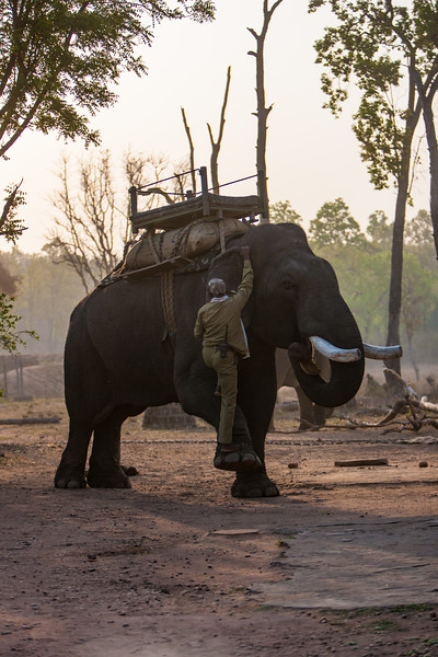 Asia. India. Asian elephant (Elephas maximus) used in safari tourism at Bandhavgarh Tiger Reserve.