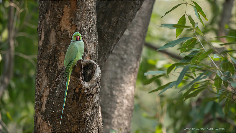 """A parakeet in India! <br /> <br /> We are having a good time in India, working hard to find a tiger!<br /> <br /> Food is great, the park is beautiful.. staying at the Ranthambore Regency Hotel, wonderful location!<br /> <br /> More images soon!<br /> <br /> Rose-ringed parakeet<br /> RJB India Tours<br />  <a href=""""http://www.raymondbarlow.com"""">http://www.raymondbarlow.com</a><br /> 1/500s f/5.6 at 330.0mm iso1250"""