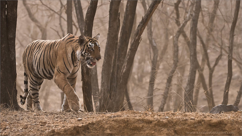 Tigress Arrowhead in India<br /> Raymond's Wild Tiger Photography Tours<br /> <br /> ray@raymondbarlow.com<br /> Nikon D810 ,Nikkor 200-400mm f/4G ED-IF AF-S VR<br /> 1/800s f/5.6 at 200.0mm iso1250