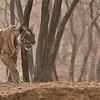Tigress Arrowhead in India<br /> Raymond's Wild Tiger Photography Tours<br /> <br /> ray@raymondbarlow.com<br /> Nikon D810 ,Nikkor 200-400mm f/4G ED-IF AF-S VR<br /> 1/800s f/5.6 at 200.0mm iso1250