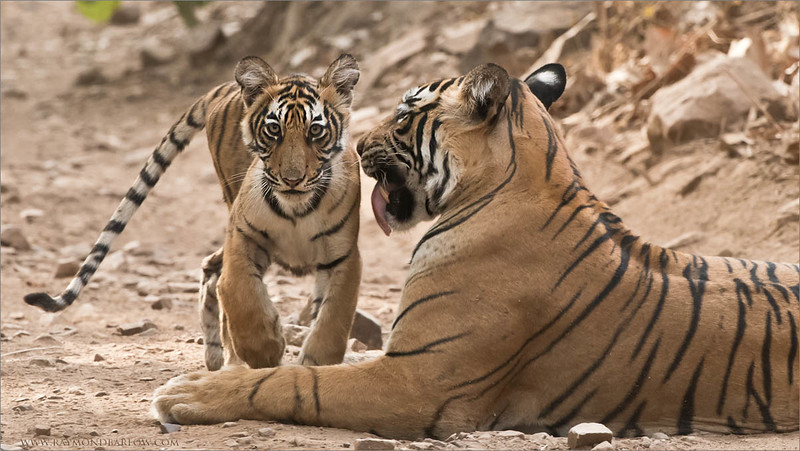 Tigress T60 and her Cub<br /> Raymond's Wild Tiger Photography Tours<br /> <br /> ray@raymondbarlow.com<br /> Nikon D810 ,Nikkor 200-400mm f/4G ED-IF AF-S VR<br /> 1/250s f/8.0 at 400.0mm iso2000