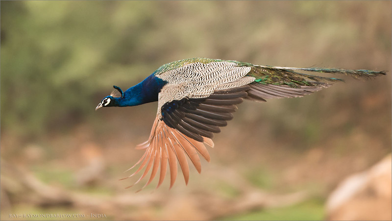 India!<br /> <br /> This peacock and his friends all decided to jump off a rock for us, one after another! Not my sharpest image, dim light, but digging through the old files is fun.. taken back in 2015 on a Tiger tour.<br /> <br /> thanks for looking!