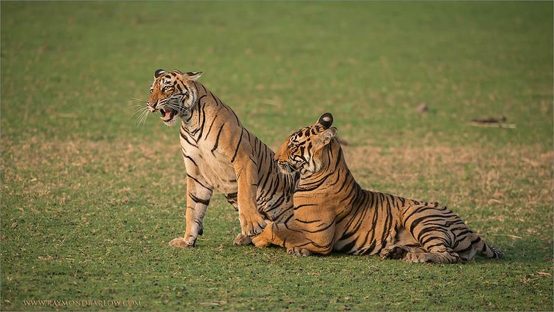 RJB_1288 Tigers in Play 1200 web