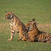 RJB_1288 Tigers in Play 1200 web