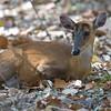 Indian Hog Deer (Axis porcinus). Taken by Doug Cheeseman in March 2013.