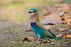 Asia. India. Indian Roller (Coracias benghalensis) at Bandhavgarh Tiger Reserve.