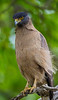 Asia. India. Crested Serpent Eagle (Spilornis cheela) at Bandhavgarh Tiger reserve.