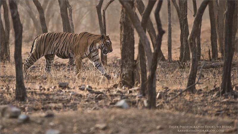 DSC_0479 Royal Bengal Tiger Hunting 1200 web