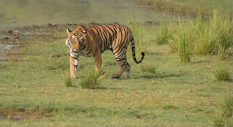 DSC_4554 Female Tiger on the Beach 1200 web