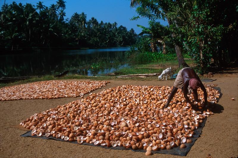 Coconut meat (copra) dries in sun, Kerala, India.