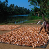 Coconut meat (copra) dries in sun, Kerala, India.