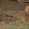 RJB_4479 Royal Bengal Tiger  1200 web