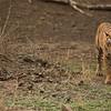 RJB_4479 Royal Bengal Tiger  1200 web