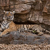 Tigress Lightning in the Rocks<br /> Raymond's Wild Tiger Photography Tours<br /> <br /> (small tree removed in Photoshop, that covered part of <br /> Lightning's tail.)<br /> <br /> ray@raymondbarlow.com<br /> Nikon D800 ,Nikkor 200-400mm f/4G ED-IF AF-S VR<br /> 1/800s f/2.8 at 170.0mm iso500