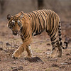 "Royal Bengal Tiger - Cub of T19 Krishna<br /> RJB India Photo Tours<br /> <br /> Photo tours to the tigers:<br /> <a href=""http://raymondbarlowworkshops.blogspot.ca/2014/06/raymond-barlows-bengal-tiger-tour.html"">http://raymondbarlowworkshops.blogspot.ca/2014/06/raymond-barlows-bengal-tiger-tour.html</a><br /> 1/2000s f/4.0 at 300.0mm iso1600"