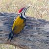 Lesser Goldenback Woodpecker