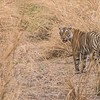 """Royal Bengal Tiger in some long  grass.<br /> Raymond's Tiger Photography Tours in India<br /> <br /> Please respect and protect Nature.<br /> <br />  <a href=""""http://www.raymondbarlow.com"""">http://www.raymondbarlow.com</a><br /> Nikon D810 ,Nikkor 200-400mm f/4G ED-IF AF-S VR<br /> 1/1250s f/5.6 at 220.0mm iso1250"""