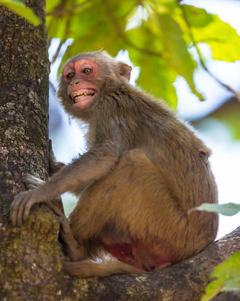 Asia. India. Rhesus macaque (Macaca mulatta) at Bandhavgarh Tiger Reserve.