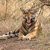 RJB_3567 Royal Bengal Tiger Snarl 1200 web