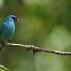 Verditer Flycatcher - India
