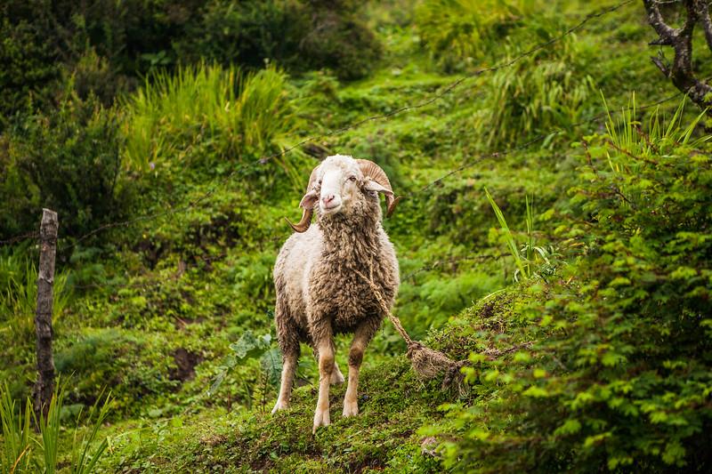A Himalayan sheep of the locals who live up on Dayara Bugyal