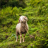 A Himalayan sheep of the locals who live up on Dayara Bugyal