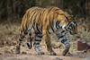 Asia. India. Female Bengal tiger (Pantera tigris tigris) enjoys the cool of a water hole<br />  at Bandhavgarh Tiger Reserve.