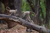 Asia. India. Grey langur, or Hanuman langur (Semnopithecus entellus) at Bandhavgarh Tiger Reserve