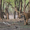 Royal Bengal Tiger, Ranthambore NP, India<br /> <br /> ray@raymondbarlow.com<br /> Bengal Tiger Tours<br /> 1/3200s f/4.0 at 400.0mm iso4000<br /> Please help Save Nature<br /> <br /> Thanks to everyone for looking!