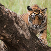 RJB_0907 Tiger on a Tree 1200 web
