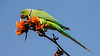 Asia. India. Rose-Ringed Parakeet (Psittacula krameri) in a flame-of-the-forest tree (Butea monosperma).