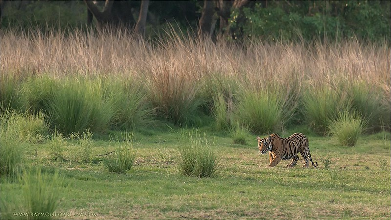 RJB_1340 Royal Bengal Tiger in the Long Grass 1200 web