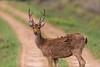 Asia. India. Barasingha, or Southern swamp deer (Rucervus duvaucelii branderi) at Kanha Tiger reserve.