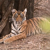 Tiger Cub - Ranthambore National Park<br /> Raymond's Wild Tiger Photography Tours<br /> <br /> ray@raymondbarlow.com<br /> Nikon D810 ,Nikkor 200-400mm f/4G ED-IF AF-S VR<br /> 1/800s f/5.6 at 340.0mm iso2000