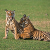 RJB_1289 Tiger Sisters in Play 1200 web