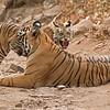 Wild Tiger Photo Tours<br /> <br /> Tigeress and her angry cub<br /> India<br /> <br /> ray@raymondbarlow.com<br /> Nikon D810 ,Nikkor 200-400mm f/4G ED-IF AF-S VR<br /> 1/320s f/8.0 at 400.0mm iso2000
