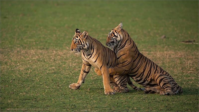 RJB_1281 Royal Bengal Tiger Cubs at Play 1200 web