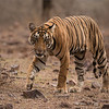 RJB_1611 Royal Bengal Tiger Cub 1200 web