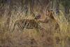 Asia. India. Bengal tigers (Pantera tigris tigris) sparring<br />  at Bandhavgarh Tiger Reserve.