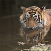 "Tiger in for a Swim!<br /> India<br /> <br />  <a href=""http://www.raymondbarlow.com"">http://www.raymondbarlow.com</a><br /> 1/500s f/4.0 at 400.0mm iso1000"